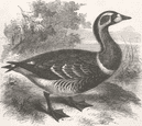 LONDON: Red-Breasted Goose, zoo, Regent's Park, antique print, 1858